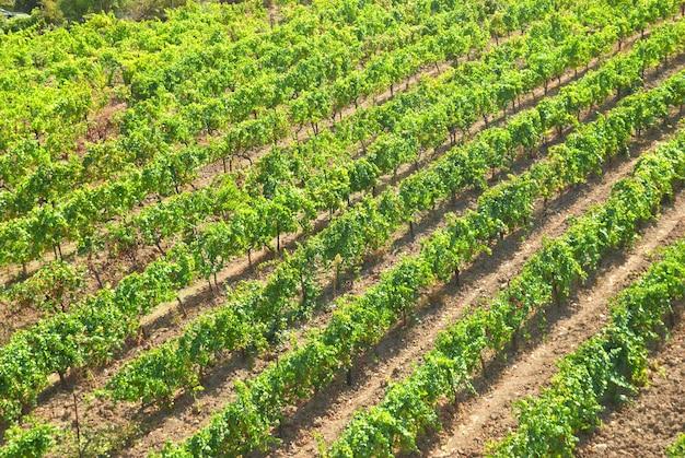 ブドウ園-まっすぐな列のある緑の野原