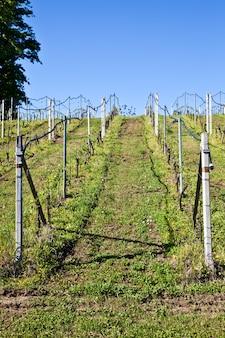 ブドウの木の頂上に沿って走る点滴灌漑システムを備えたブドウ園