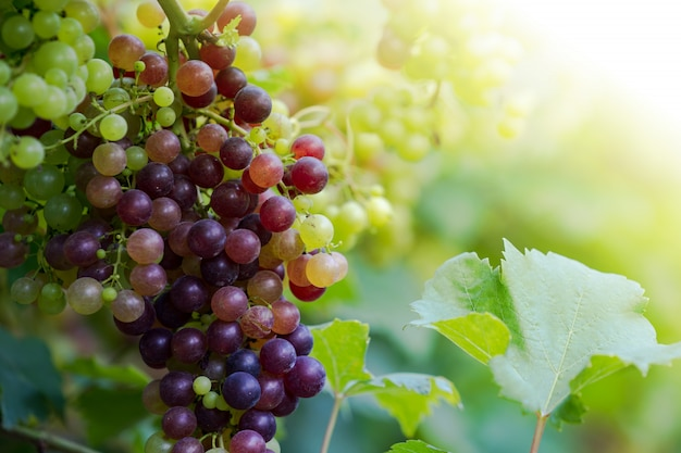 Vineyard with ripe grapes in countryside, purple grapes hang on the vine