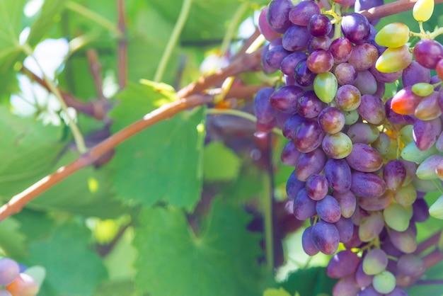 Виноградники на закате осеннего урожая