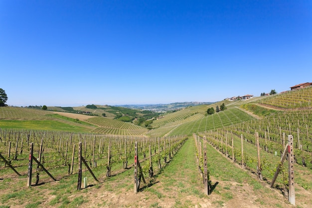 Vineyards from langhe region
