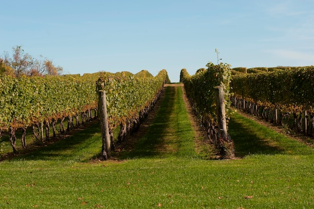 Vineyards in the hamptons