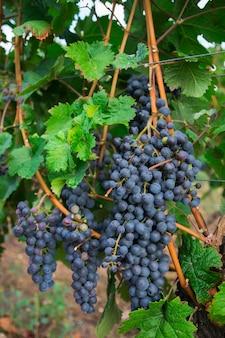 Виноградники в осенний урожай. много больших гроздей красного винограда.