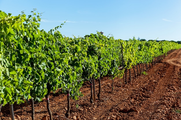 Виноградники в возделываемых полях, виноградники
