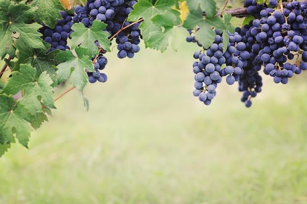 Виноградники голубого винограда во время сбора урожая