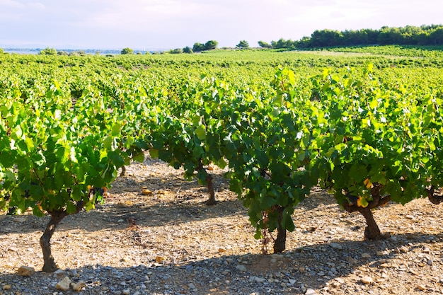 Vineyards plantation in sunny summer day