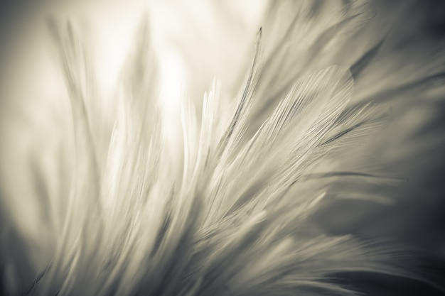 Vintage chicken feathers in soft and blur style  the background