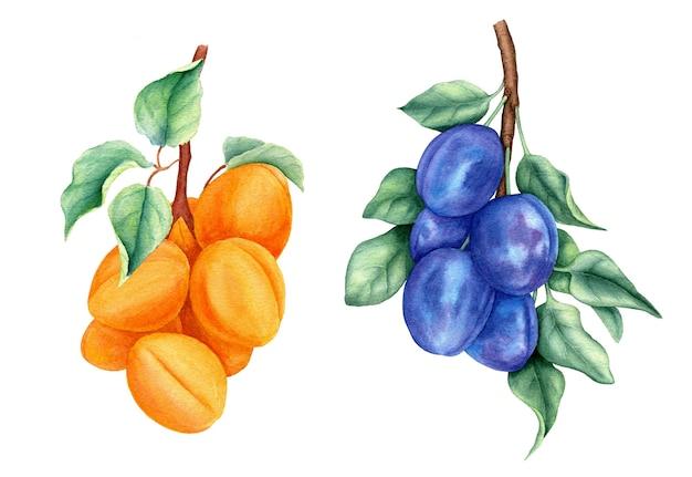 Винтажная коллекция фруктов со сливами и абрикосами, акварельная ботаническая иллюстрация