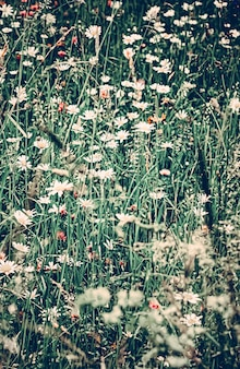 Vintage daisy field in summer green grass and blooming flowers chamomile meadow as spring nature and...
