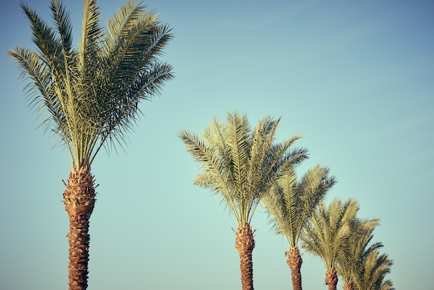 Vintage palm tree on a beach against blue sky in summer, toned photo