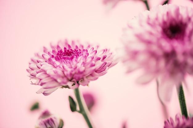 Vintage pink white chrysanthemum flowers