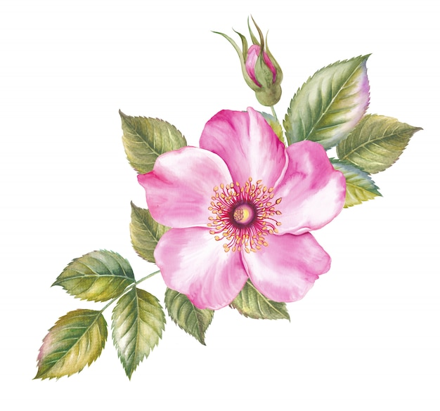 Vintage set of blooming roses. watercolor botanical illustration of a rose.
