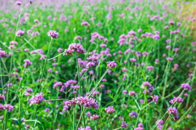 ビンテージバーベナ花