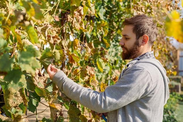 빈티지 동안 포도를 검사하는 vintner 남자. 포도나무 만드는 과정. 오이듐 처리, 포도용 비료 선택. 까베르네 소비뇽, 메를로, 피노 누아, 산지오베제 포도 품종.