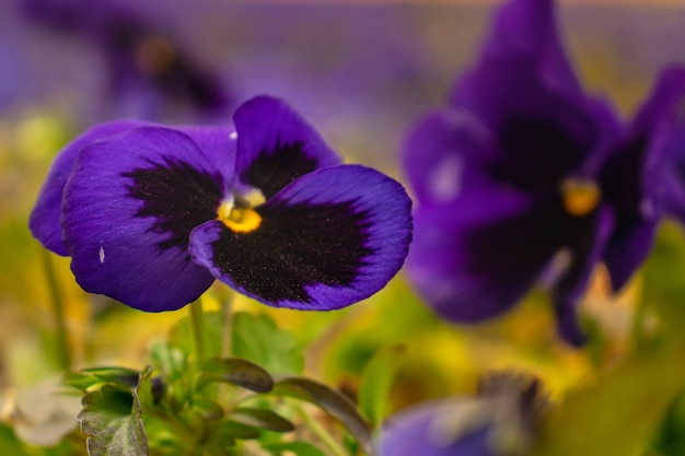 美しいぼやけたフィールドとビオラの花のクローズアップ