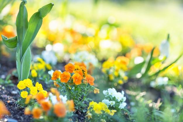 朝の陽光にビオラオレンジパンジーの花。早春のコンセプト。選択的でぼやけた背景。