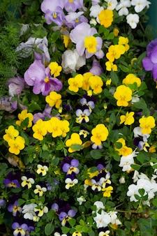 비올라 삼색 꽃은 여름날 공원에서 자랍니다.