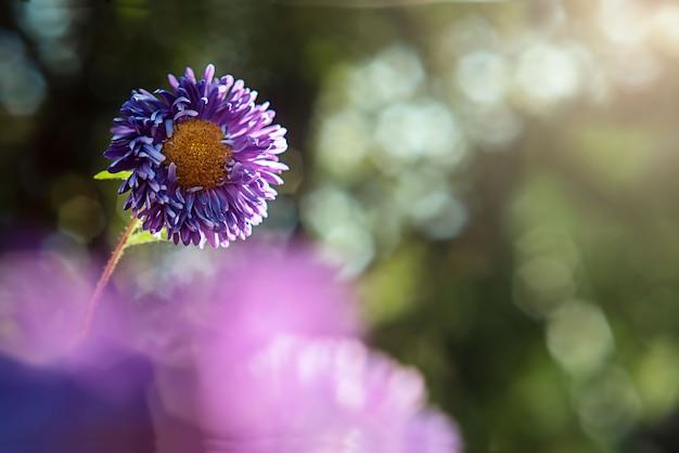 Violet aster flower in blurred nature