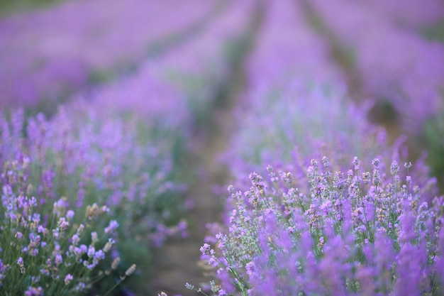 Violet blooming lavender patches in countryside farmland
