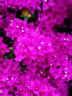 Фиолетовый цветок бугенвиллеи. яркий насыщенный цвет крупным планом.