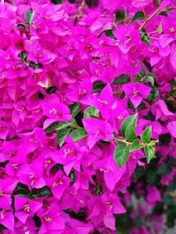 Фиолетовый цветок бугенвиллии. яркий насыщенный цвет крупным планом.