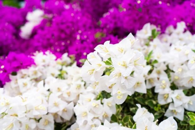 Фиолетовый цветок бугенвиллии. яркий насыщенный цвет.