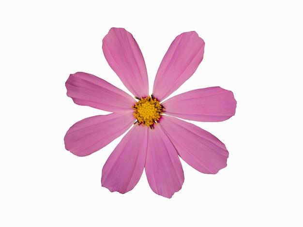 보라색 cosmea 꽃 흰색 배경에 고립입니다. 아름 다운 정입니다. 별 모양의 꽃. 봄 시간입니다. 평평한 평지, 평면도.