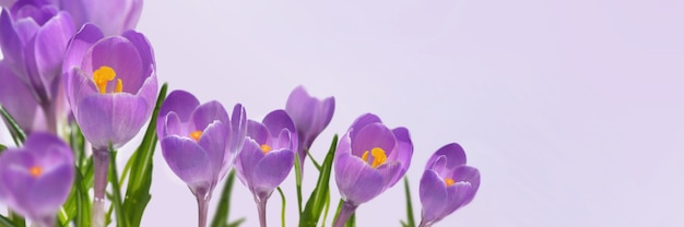 Violet crocus blooming  in panoramic view on pink background