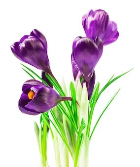 紫のクロッカスの花の花束