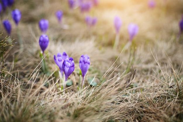 春の山のバイオレットクロッカス。咲く紫色のクロッカス高山の花