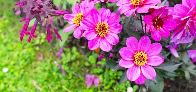 Violet dahlia flowers summer background, web banner format