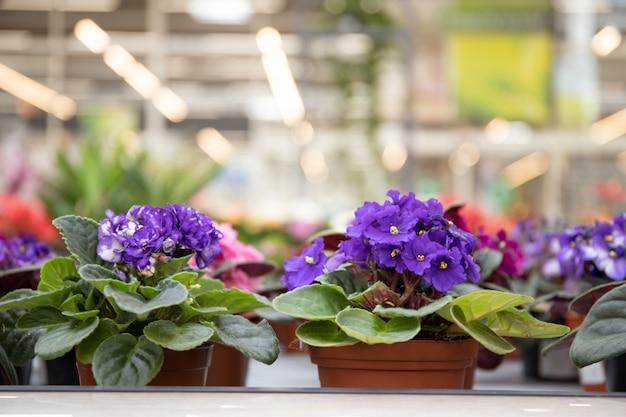 Violet flower in a flower pot.