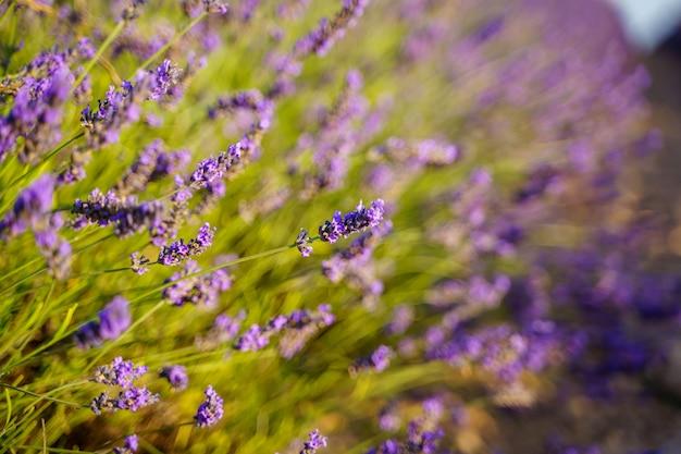 Фиолетовые цветы с поля лаванды во французском провансе