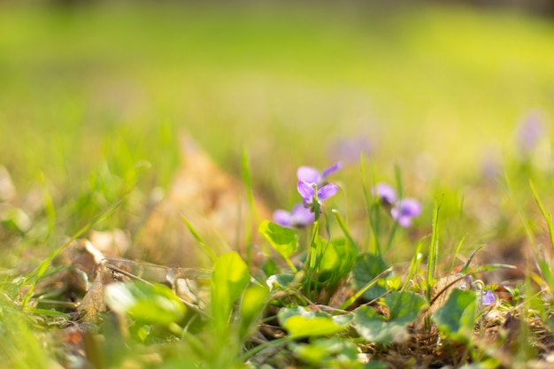 Violet flowers on green grass in spring park