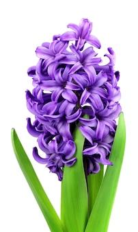 Фиолетовые цветы (гиацинт) на белом крупным планом