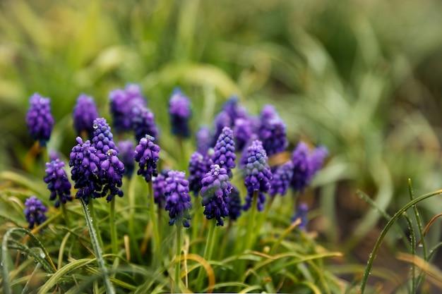 Violet flowers in a rustic garden