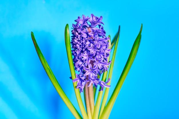 Violet fresh blooming flower hyacinth