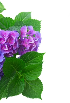 Violet fresh hortensia fresh blooming flowers and leaves close up isolated on white background