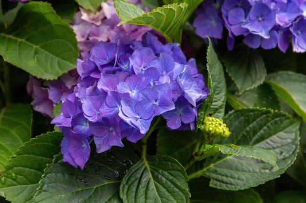 緑の葉を背景に紫のアジサイの花。オルテンシアの花の軽い花束のクローズアップ、ソフトセレクティブフォーカス