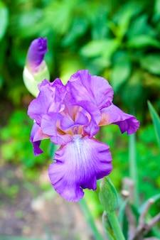 Фиолетовый ирис цветок на фоне зеленого сада