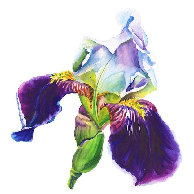 Фиолетовый ирис. акварельный цветок на белом фоне.