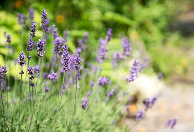 Violet lavender. blooming violet fragrant lavender flowers.