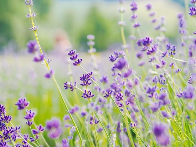 여름 햇빛에 피는 보라색 라벤더 밭. 프로방스, 프랑스에서 라일락 꽃 풍경. 프랑스 프로방스의 향기로운 꽃의 무리. 아로마 테라피. 자연 화장품. 원예.