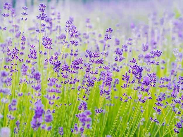 Violet lavender flowers blooming on a summer day