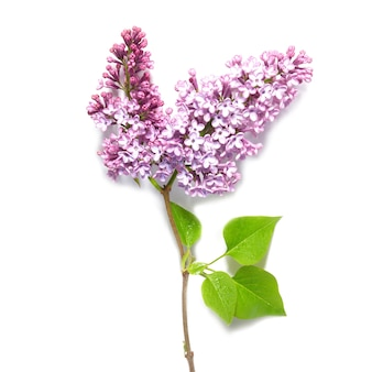 Violet lilac branch isolated on white background