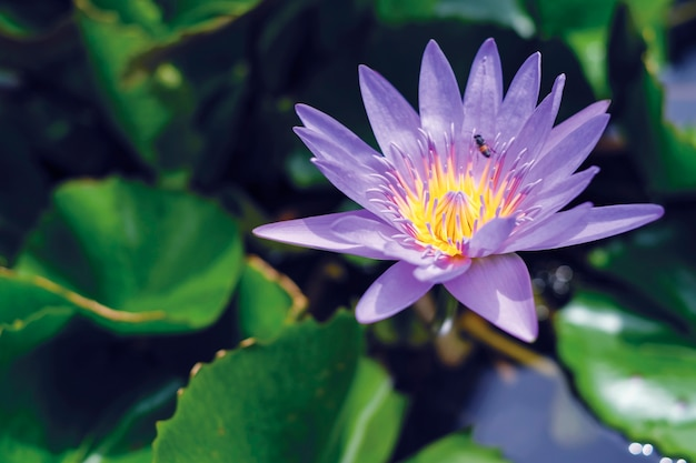 Violet lotus flower with green leaves in pond