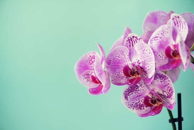 Violet orchid on blue background