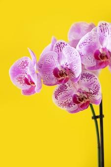 Violet orchid on blue background