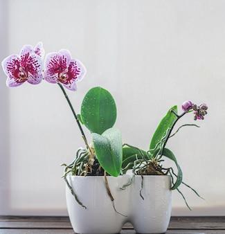 Фиолетовый цветок орхидеи в белом горшке