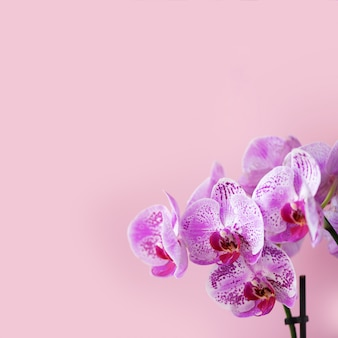 Violet orchid on pink background